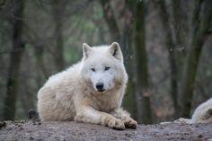 Arctic wolf by Michaela Smidova on 500px