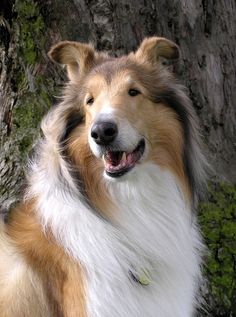 collies - Click image to find more Animals Pinterest pins