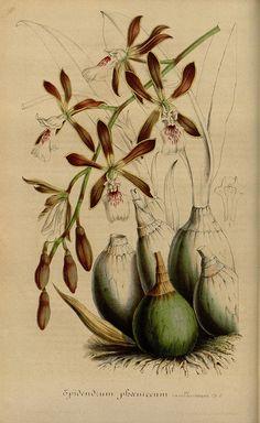 Epidendrum. Flore des serres et des jardins de l'Europe.
