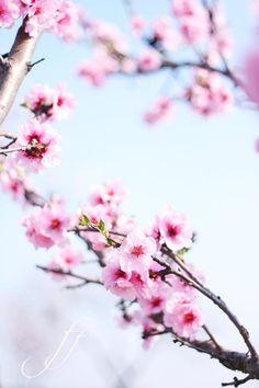 springtime~cherry blossoms!