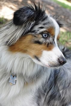 beautiful aussie