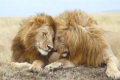 Leões em um momento de muito carinho e amor