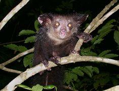 El aye-aye es un lemur , un strepsirrhine primate nativo de Madagascar, que combina los roedores como de dientes y un dedo especial de media...