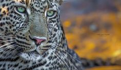 """Panthera, by Keith Connelly.""""Beautiful things don't ask for attention"""" James Thurber Keystone Species, Leopards, Wild And Free, Big Cats, Cheetah, Wilderness, Elephant, African, Awesome"""