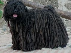 This is a Puli. the Dreadlock Dog! My daughter, Kaitlyn, wants one of these or a Newfoundland! Mop Dog, Dog Cat, Hungarian Puli, Puli Dog, Komondor, Fangirl Problems, Dogs And Puppies, Doggies, Animales