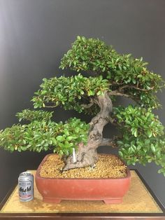 Bonsai Rhododendron Indicum