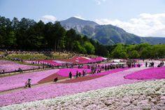 Beautiful shibazakura (pink moss) in Chichibu, Saitama Prefecture (May 2013).