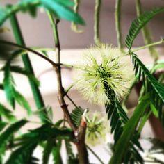 @mariko_yuasa #エバーフレッシュ #花 #ハーブ #harbs #plantui #水耕栽培 Dandelion, Flowers, Plants, Instagram, Dandelions, Plant, Taraxacum Officinale, Royal Icing Flowers, Flower