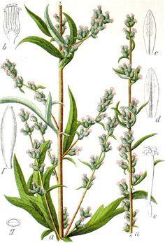 Beifuß - vergessenes Würzkraut, Heilpflanze und Aphrodisiakum