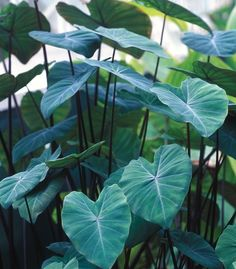 Wholesale Black Stem Alocasia Elephant Ears - Pacific Callas is your source for premium quality Elephant Ears Plants from the world's best Elephant Ears growers. Elephant Ear Plant, Elephant Ears, Garden Plants, Indoor Plants, House Plants, Alocasia Plant, Ornamental Plants, Types Of Plants, Tropical Plants
