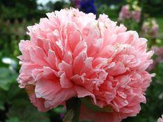 "Oriental Poppy ( PAPAVER ORIENTALE ) ""Peony Poppy Bombast Rose"""