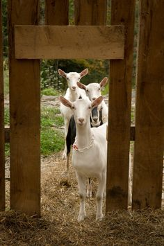 goats in the  barnyard