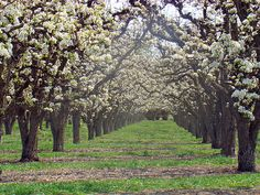 Pear Trees in Bloom. I love when trees are planted like this to make an Avenue. This photo reminds me of the lane of Live Oaks at Boone Hall Plantation in Charleston, SC.