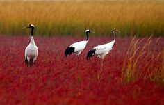 Credit: Sun Huajin/Xinhua Press/Corbis Red-crowned cranes are seen at the state nature reserve of rare birds in Yancheng, east China's Jiangsu Province.   Fellow photographers video chat at https://createamixer.com/