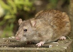 Urban Garden Rat Problem: Tips For Rat Control In City Gardens - Urban gardeners battle the same set of pests and diseases that rural gardeners do with one wily addition - rats. What kind of rat control can be practiced in city gardens to deal with the urban garden rat problem? Find out in this article.