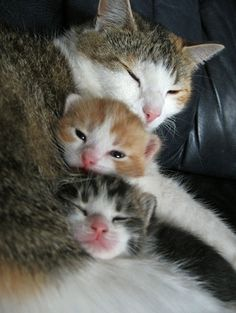Nap time or mom trying to keep kittens in place!