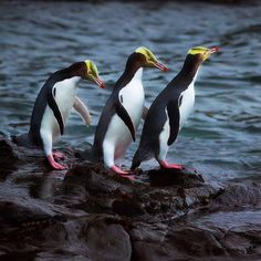 Yellow Eyed Penguins in the Catlins,South Island, New Zealand photo by Penguin World, Penguin Life, Great Places, Places To See, Penguin Species, Bird Species, Dunedin New Zealand, Polymer Clay Animals, Yellow Eyes
