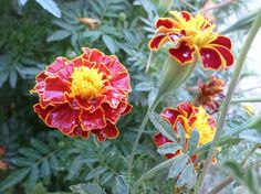 Tagetes flowers under rain - National Geographic Your Shot
