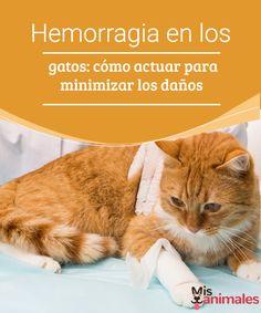Hemorragia en los gatos: cómo actuar para minimizar los daños  En este artículo te contamos cómo actuar ante la hemorragia en los gatos con el fin de minimizar los daños que este problema pueda causar a nuestra mascota.