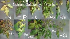 mineral deficiency in plants symptoms - Google Search