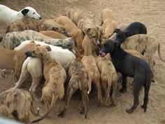 "One of ""100 reasons to adopt a greyhound"" - by rachelhogue"