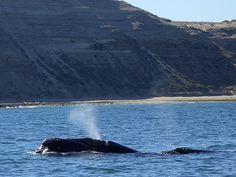Observe baleias em Puerto Madryn | Argentina4u