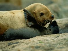 sea lion baby and mommy!