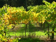 The vines turning color from the cool, crisp Autumn air in Healdsburg, CA.