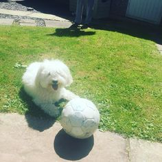 Could Angus be the face of #euro2016 ? He is French, sort of. #cotondetulear #dogs #fluffy yes, that is my football I've not kicked for 11 years haha