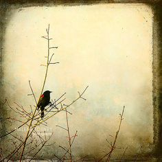 Blackbird Photography, vintage bird home decor print by MaleahTorney, $30.00