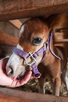 Mini horse foals are amazingly petite.