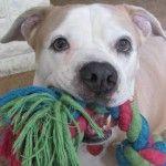 FIX-A-BULL free spay/neuter program Terrier Mix Dogs, Pitbull Terrier, Paws Rescue, East Lansing, Adoption Process, Senior Girls, Pitbulls, Pets, Animals
