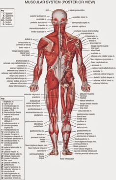 anatomy of body | anatomy of male muscular system posterior view, Muscles