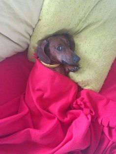 My lovely Leto #letothedoxie #doxie #dogs #pets #cute #dachshund