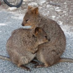 Quokka Happy Animals, Cute Animals, Quokka, Australian Animals, Wombat, Animals Of The World, Pet Birds, Animal Kingdom, Animals Beautiful