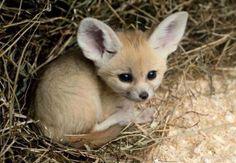 fennec fox baby. Kinda looks like titan