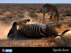 Upside down - Etosha National Park. Foto di Alberto Bottacin
