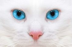 Rosy- A small white she-cat with innocent looking blue eyes, but do not be fooled by her appearance. Description from amazingworldofwarriors.webs.com. I searched for this on bing.com/images