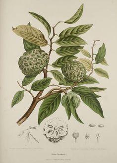 Annona Sugar Apple Botanical Illustration Berthe Hoola Van Nooten 1880