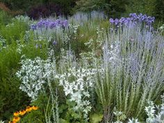 Purple and Silver shine in Wisley Gardens in England.