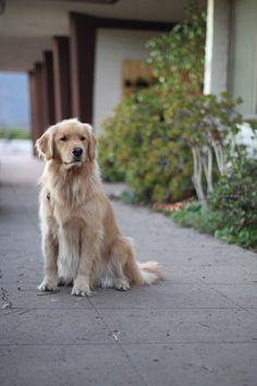 #goldenretriever #dogs