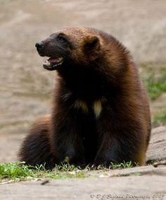 Male wolverine (Gulo gulo) at Muskoka Wildlife Centre, Severn Bridge, Ontario… Zoo Animals, Animals And Pets, Cute Animals, Wild Animals, Beautiful Creatures, Animals Beautiful, Wolverine Pictures, Wolverine Animal, North American Animals