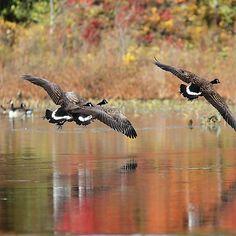 Autumn Flight - Canada Geese