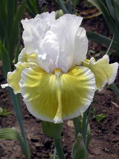 Iris 'Global Crossing' (Robert Van Liere, R. Standards and style arms light blue; Iris Flowers, Real Flowers, Amazing Flowers, Beautiful Flowers, Iris Garden, Garden Plants, Planting Bulbs, Planting Flowers, Blowing Bubbles