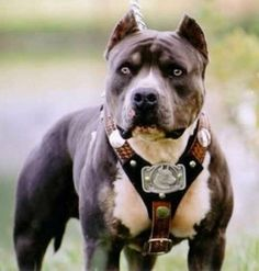 These are one of the most beautiful and most misunderstood dogs. Gotta love the pit bull:)