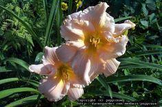 Daylily 'Fairy Tale Pink'Hemerocallis
