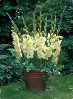 Gladiolus in a planter along fence or house would look cute.