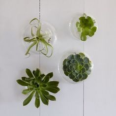 Watch the glass grow. Outfit your indoor garden with a group of these hanging Glass Wall Planters, designed by our frequent collaborator Shane Powers. Perfect for succulents and air plants, they bring a little green to any room.