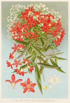 Ceratopetalum gummiferum -   NSW Christmas Bush;  artist: Edward Minchen (1862-1913)