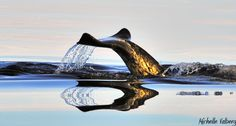 A Perfect Reflection - A Narwhal glides through the water near Pond Inlet, Nunavut